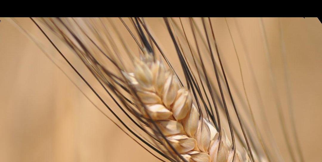 La Filiera corta e la materia prima per eccellenza…il grano duro Senatore Cappelli